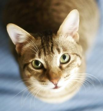 gato mirando comprimida