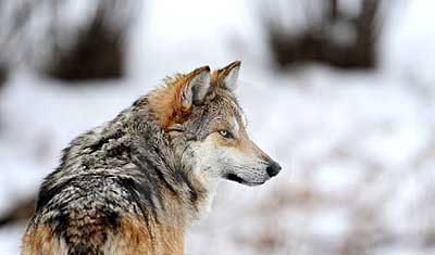 A Mexican wolf