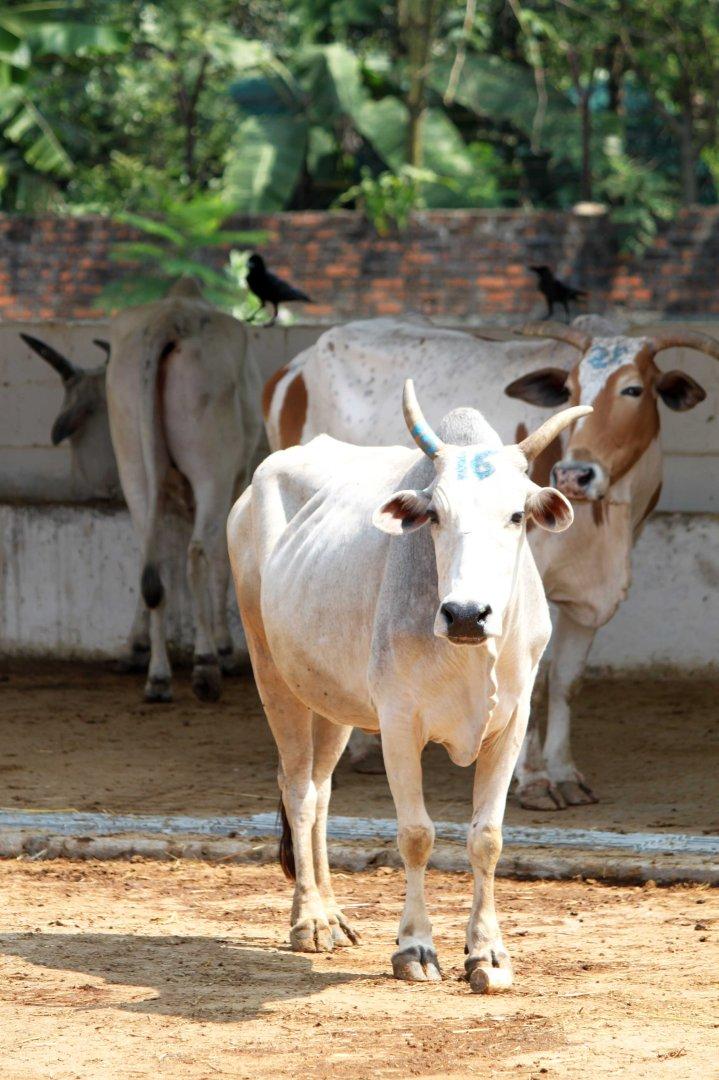 IMG_3819 rescued cows Blue Cross 2012 Feb