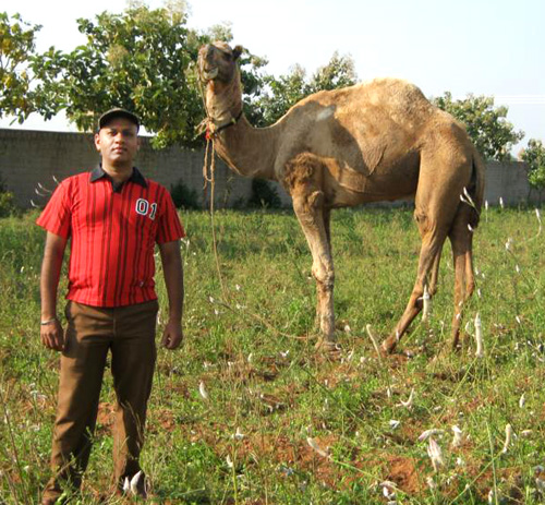 Manju Bod rescued camel resized
