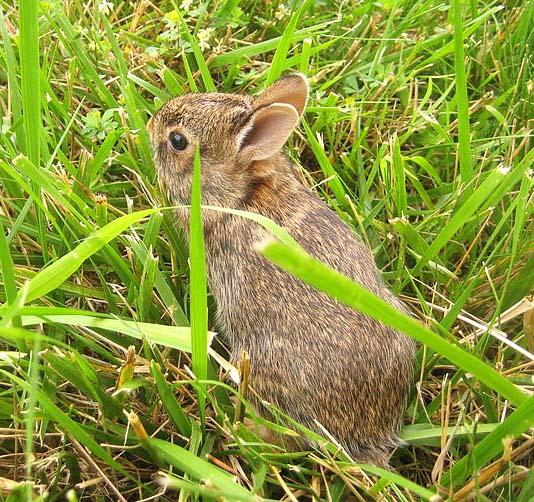 A baby rabbit.