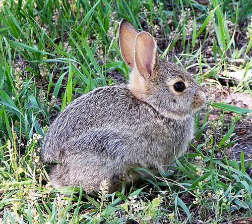 500px-Rabbit_in_montana