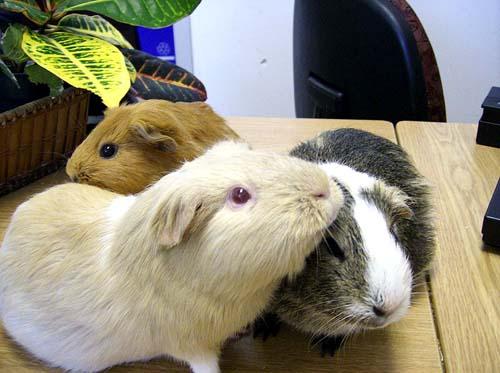 Three guinea pigs in captivity.