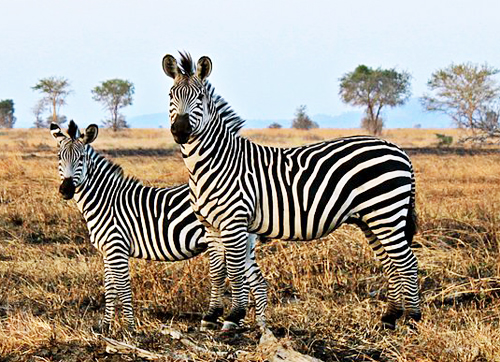 These are wild zebras in Tanzania, not zebras in the Giza Zoo.