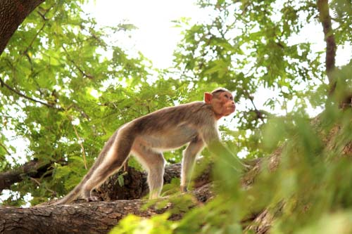 A macaque at Pavapatthu  sacred grove, not one of the Blue Cross monkeys.