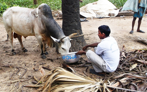 A stray bull being fed by Mr. Mantu Das, a volunteer with our disaster response team.