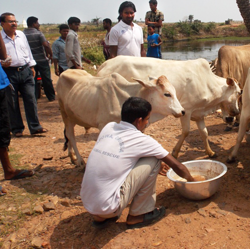 Mr. Mantu Das feeding hungry cows in affected areas.