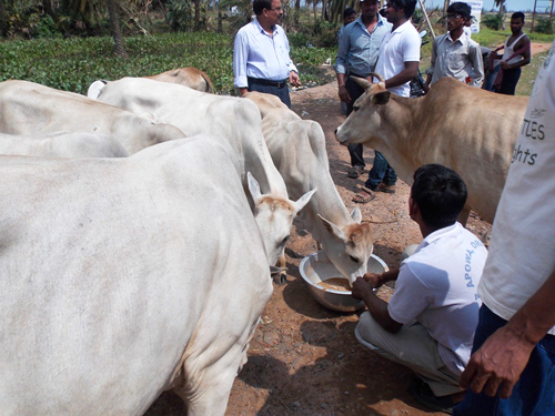 Cows are roaming the streets in cyclone-stricken parts of Ganjam district. One of our volunteers is providing emergency feeding.