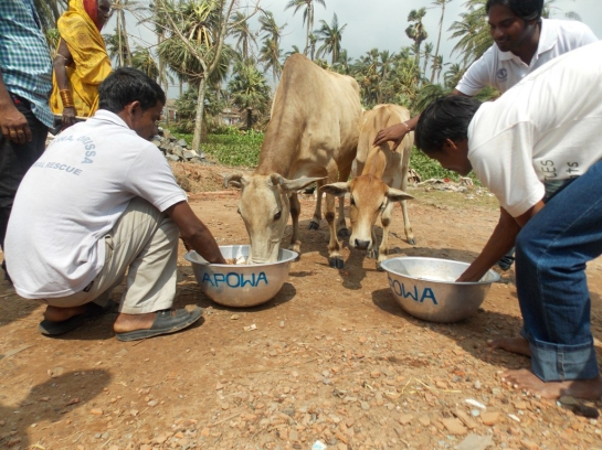 We bring food to many cattle roaming in cyclone-affected areas.