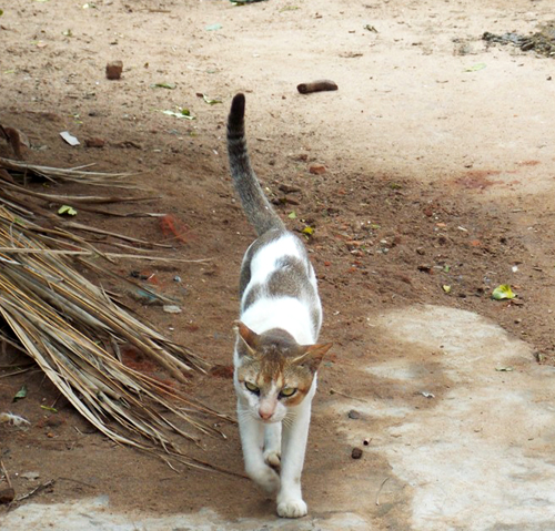 A surviving feral cat walks along a street in Purunabandha village.