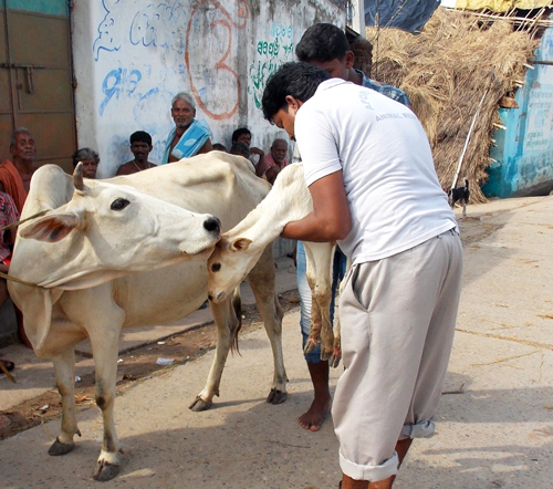 Mr. Mantu, one of our disaster response team members, rescuing an injured calf to be treated.