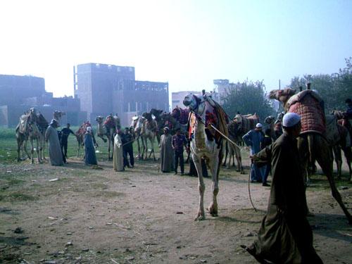 camelsIMAG0011