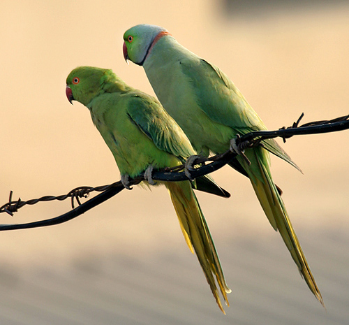 Rose-ringed_Parakeets_(Male_&_Female) : Wikipedia Commons