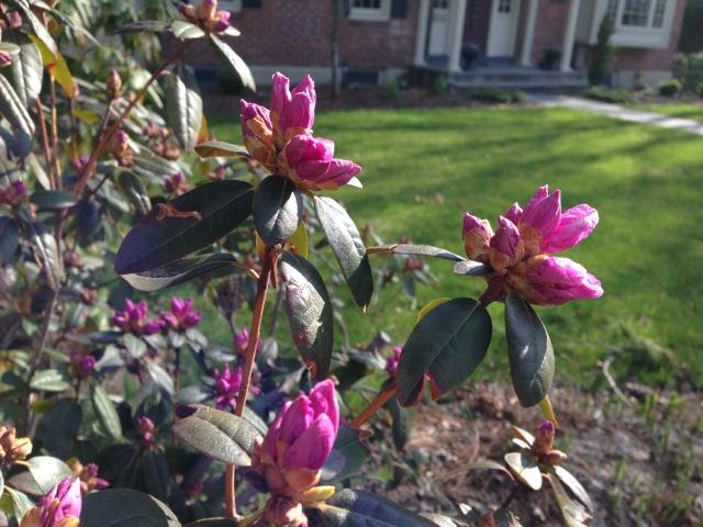 Pink Azalea buds