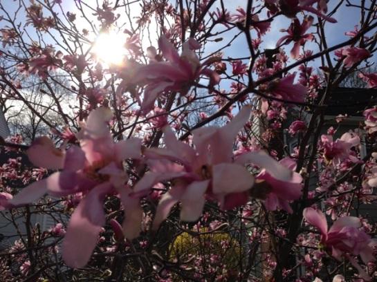Magnolia Tree in Sunshine