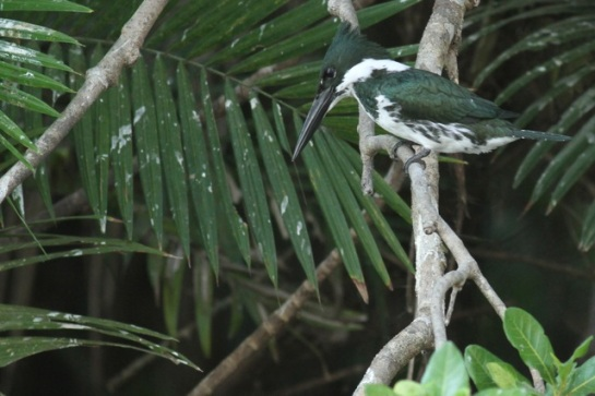 Amazon kingfisher, 22 March 2014