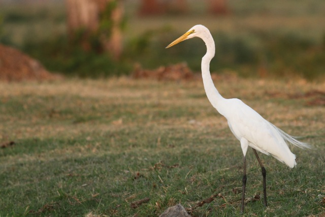Great egret, 22 March 2014