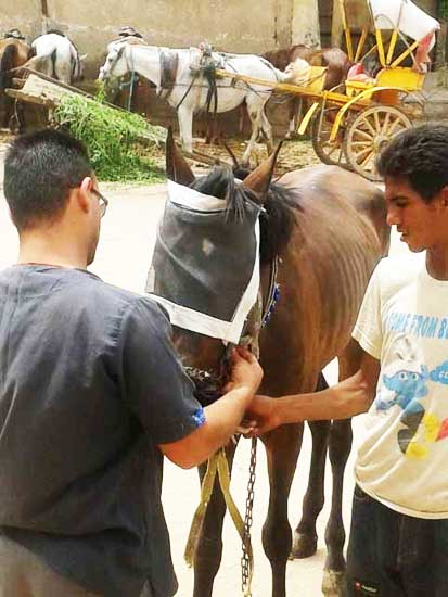 A horse being fitted with a fly mask.