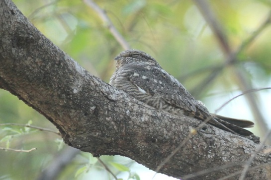 Lesser nighthawk, 22 March 2014