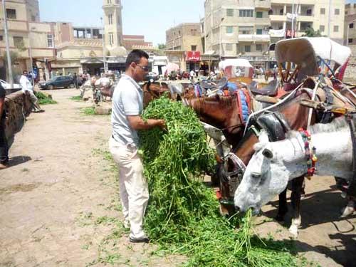 Feeding horses near the Pyramids.
