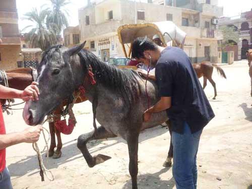 A vet examining a horse.
