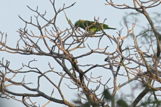 Yellow-naped parrot, 22 March 2014