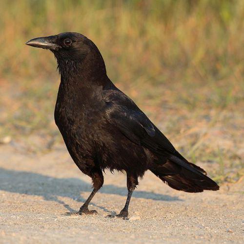 crow one