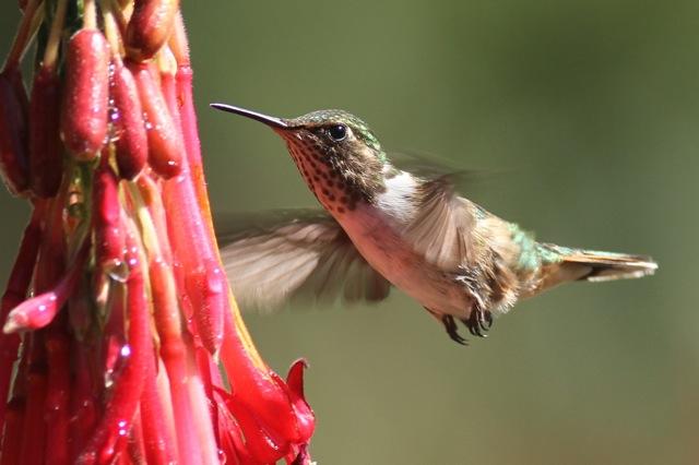 Volcano hummingbird female flying, 28 March 2014