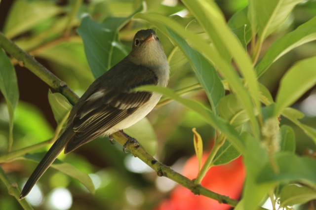 Yellowish flycatcher, 28 March 2014