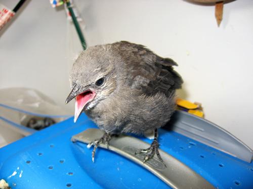 Brwer's blackbirdIMG_3694-1