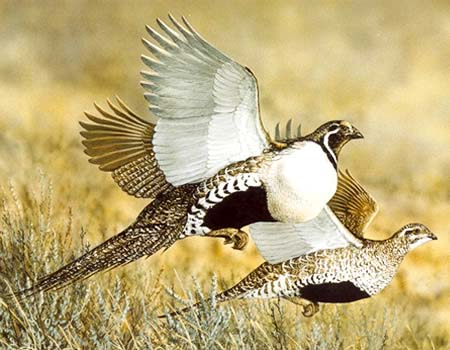 Oregon Department of Fish and Wildlifegreater-sage-grouse-2