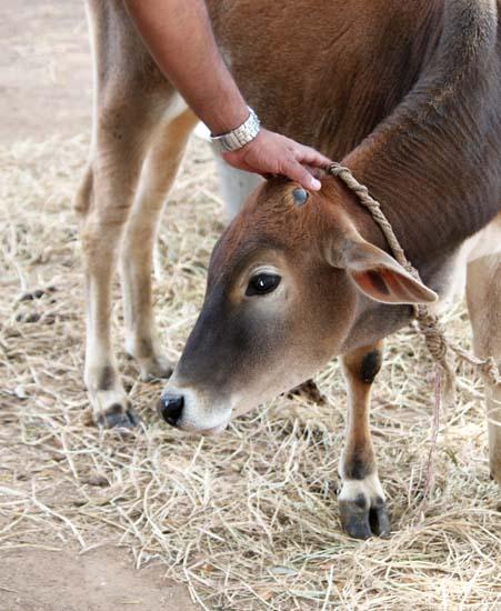 rescued calf IMG_6333