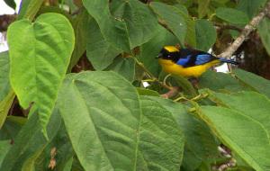 Blue-winged Mountain Tanager, Ecuador