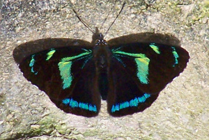 Butterfly, Ecuador