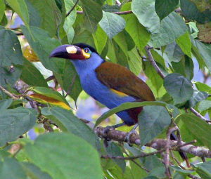 Plate-billed Mountain Toucan, Ecuador