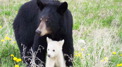 Black bear mother and cub. (Black bears come in several colors.)