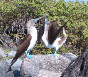 "Blue-footed Booby mating display, bird on right is ""sky pointing"""