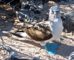 Female Blue-footed Booby