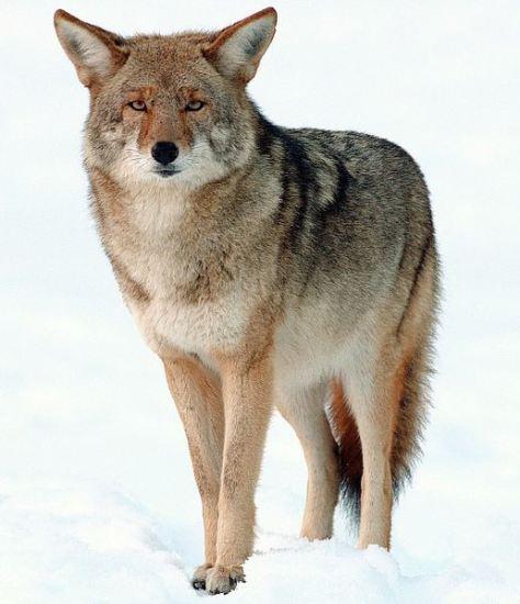 516px-2009-Coyote-Yosemite