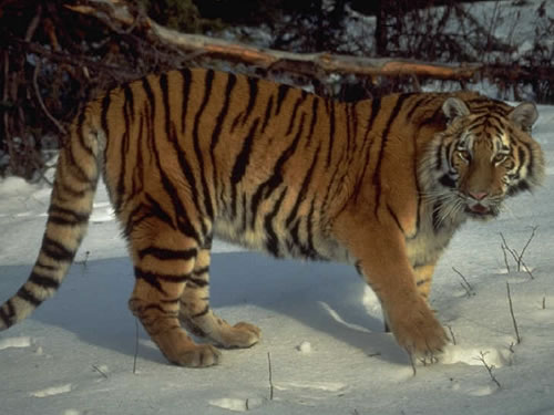 New national office for tigers inChina