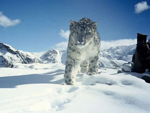 Snow leopards recorded in Tianshan mountains after 10 yearsabsence