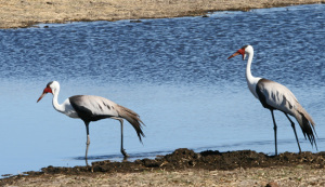 Wattled Cranes, Botswana