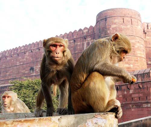 709px-Macaque_India_4