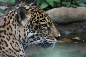 Jaguar-Marco-Zanferrari-537x358
