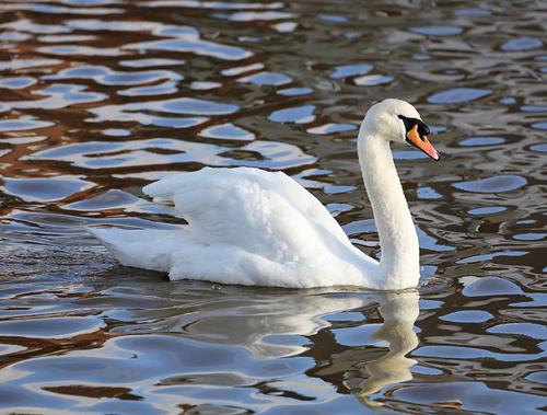 792px-Mute_Swan_Emsworth2