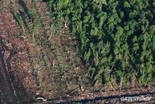 Loss of forest habitat through pulp and paper logging and palm oil plantations has pushed endangered species such as the Sumatran tiger, rhinoceros, elephants and the orangutan closer to extinction. PHOTO: Greenpeace