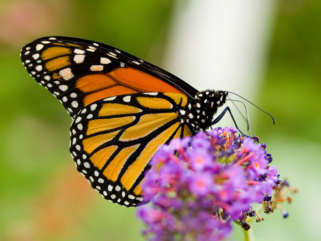 By spending just 15 minutes counting butterflies, you'll be taking part in the world's biggest butterfly survey and helping protect these precious insects. PHOTO: Wikimedia Commons