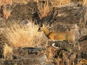 Klipspringer, Botswana, Africa