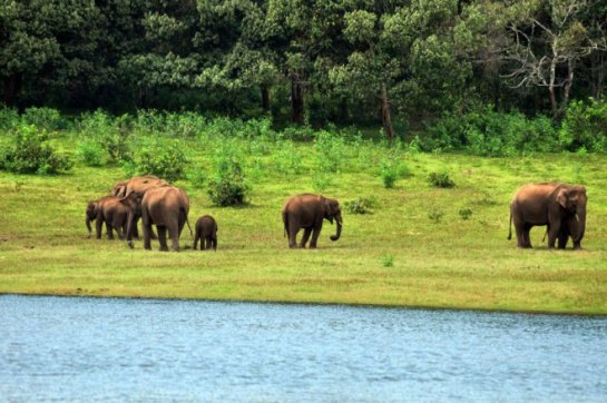 A herd of elephants by the river at Periyar Tiger Reserve, Thekkady, India. PHOTO: Rosanna Abrachan