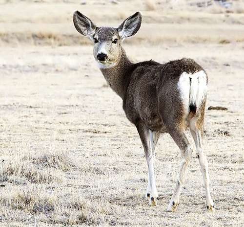646px-2012-mule-deer-female